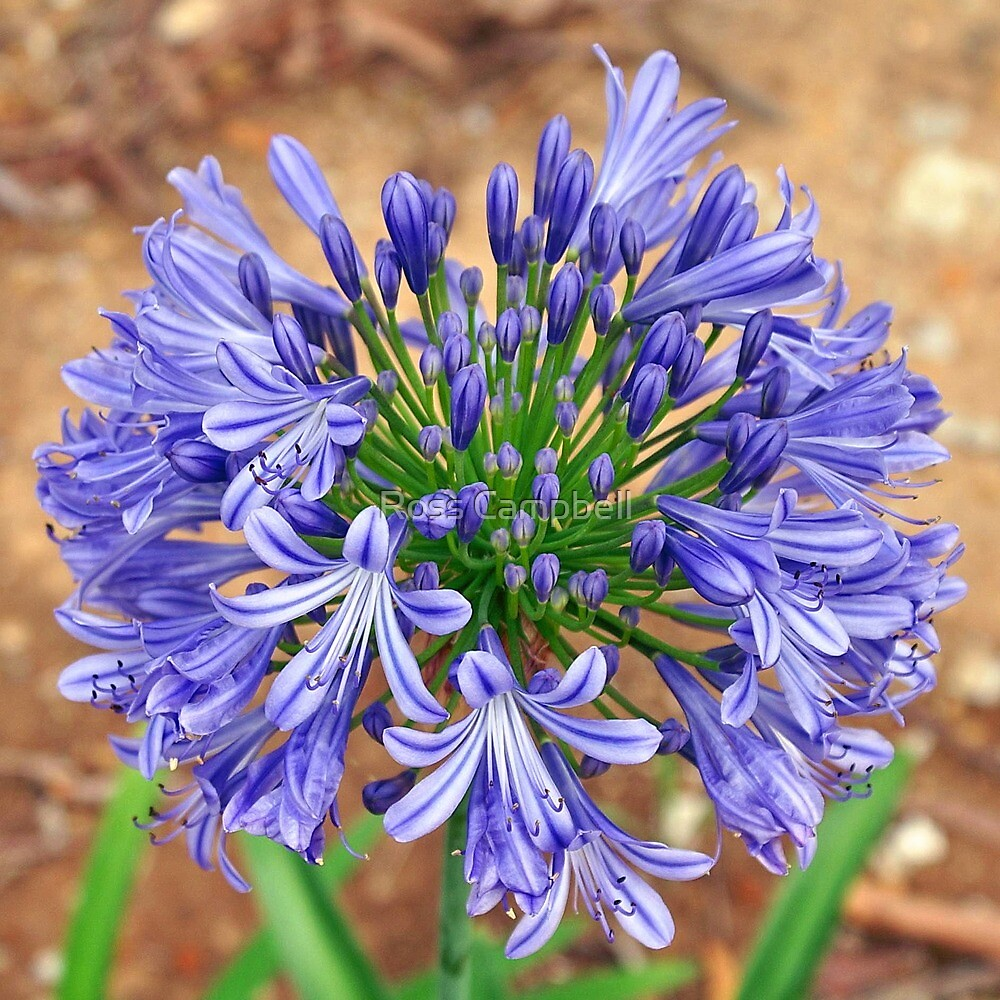 Blue Agapanthus by Ross Campbell