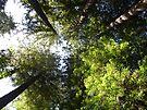 Giant Redwoods by Cathy Jones