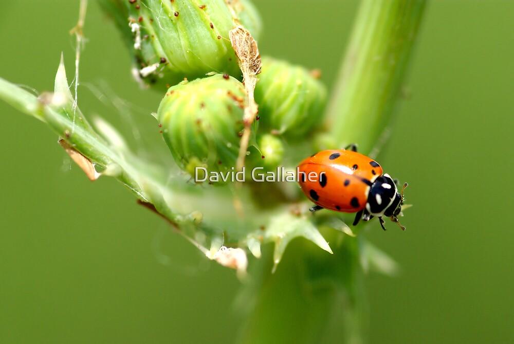 ladybug by David Gallaher