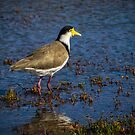 Spur-winged Plover by Bette Devine