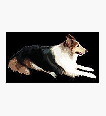 DOG - Collie Tri-Color Photographic Print
