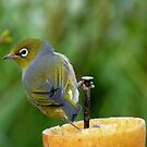 I Nailed It!!! - Silver-Eye - NZ by AndreaEL