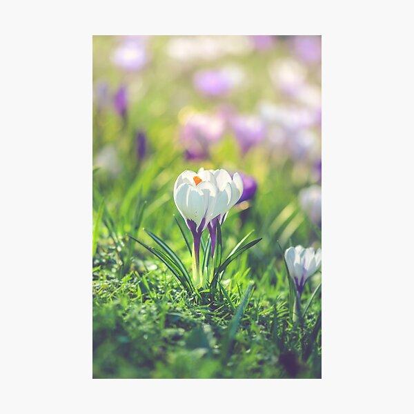 White crocuses Photographic Print