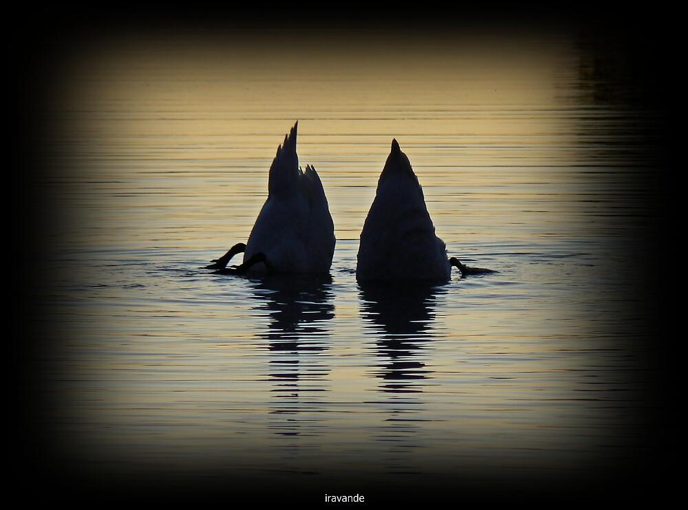 diving swans by iravande