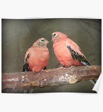 Our Adoration Speaks Volumes - Bourke Parrots - NZ Poster