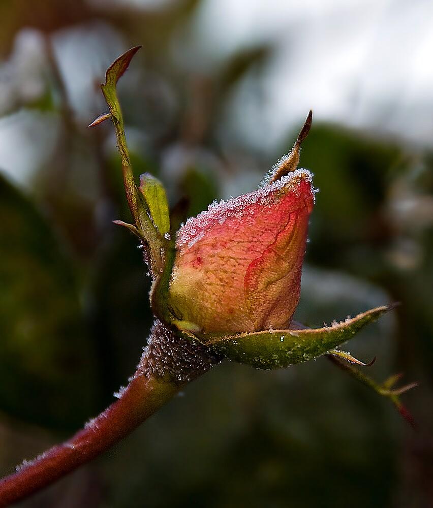Frosty Rose by DiOli