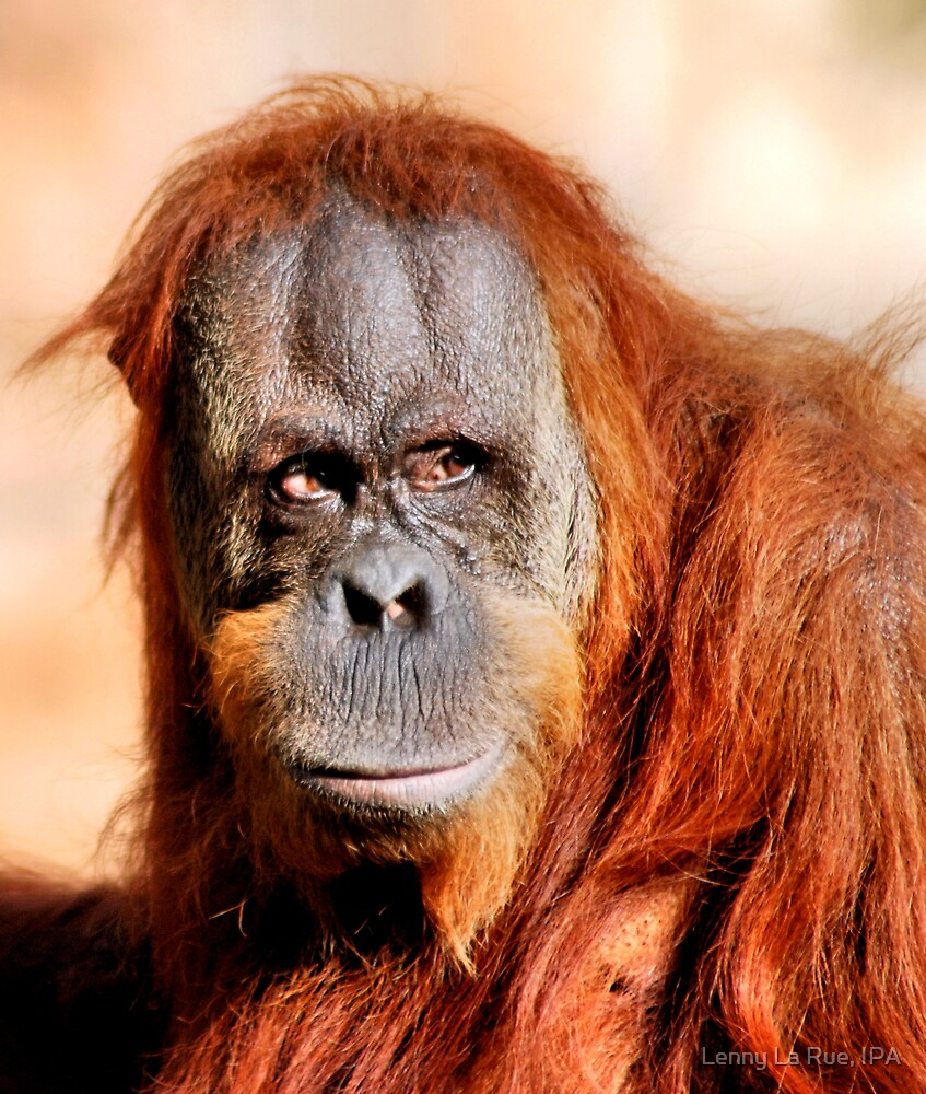 female Sumatran orangutan by Lenny La Rue, IPA