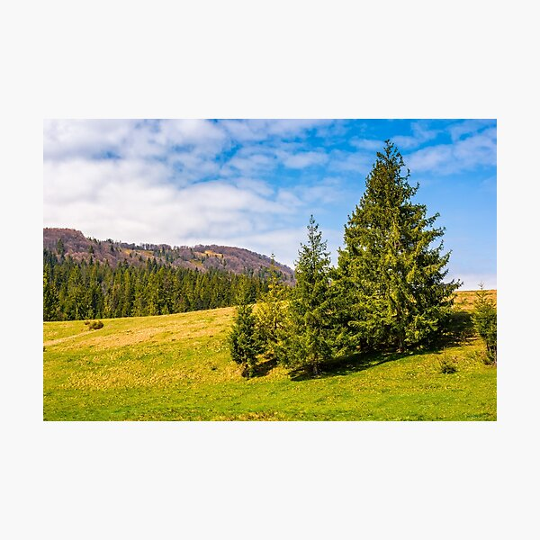 pine forest in summer landscape Photographic Print