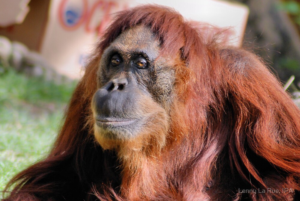 2nd female Sumatran orangutan by Lenny La Rue, IPA