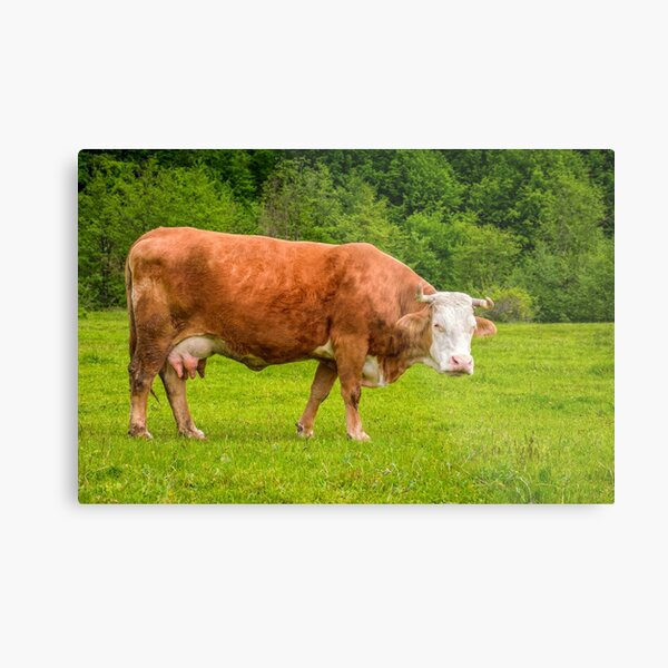 rufous cow on a meadow near the forest Metal Print