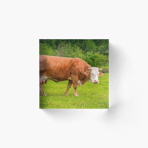 rufous cow on a meadow near the forest Acrylic Block