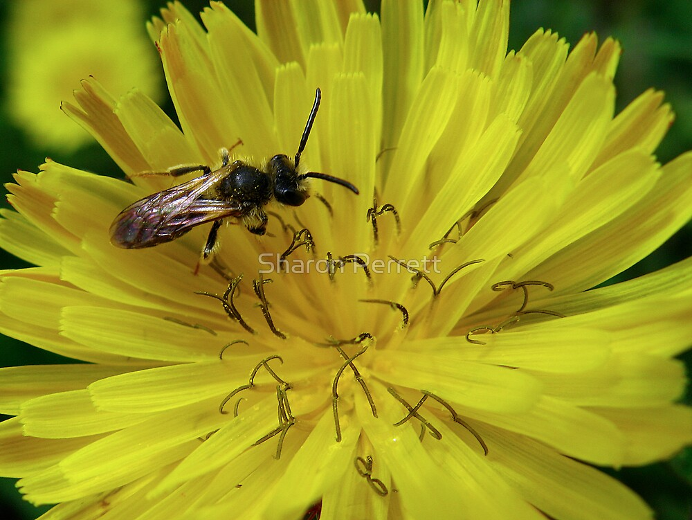 The bee and the dandelion by Sharon Perrett