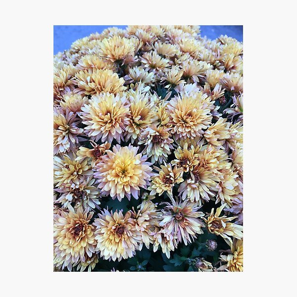 Gift for Gardener - Mumsified - Light Yellow and Pink Mums Photographic Print
