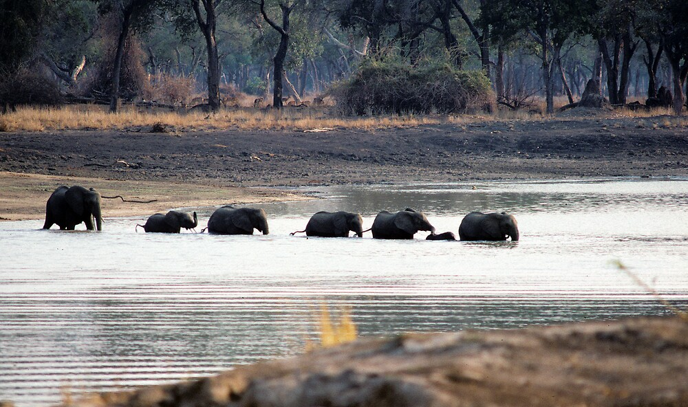 Elephant Family crossing Mana Pool by bertspix