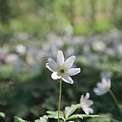 pure white flowers wood anemone by mrivserg