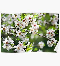 Flowering branches of fruit tree Poster