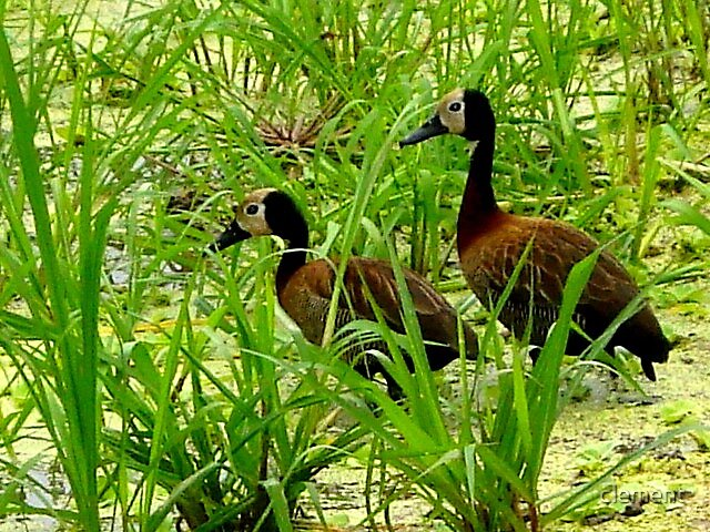 African wild ducks by clement