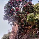Pohutukawa - just hanging on........! by Roy  Massicks