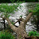Fallen Tree, Rideau River, Ottawa, ON Canada by Shulie1