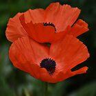 Poppies Tango  by Poete100
