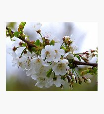 Pear Blossoms - NZ Photographic Print