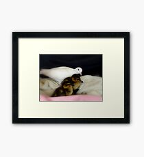 Welcome To The Family... White Dove & Ducklings - NZ Framed Print