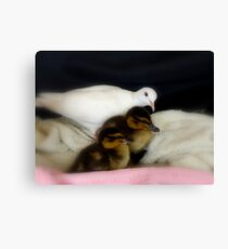 Welcome To The Family... White Dove & Ducklings - NZ Canvas Print