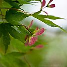 Maple Seeds by LawsonImages