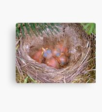 Little Miracles of Nature - Song Thrush - NZ Canvas Print