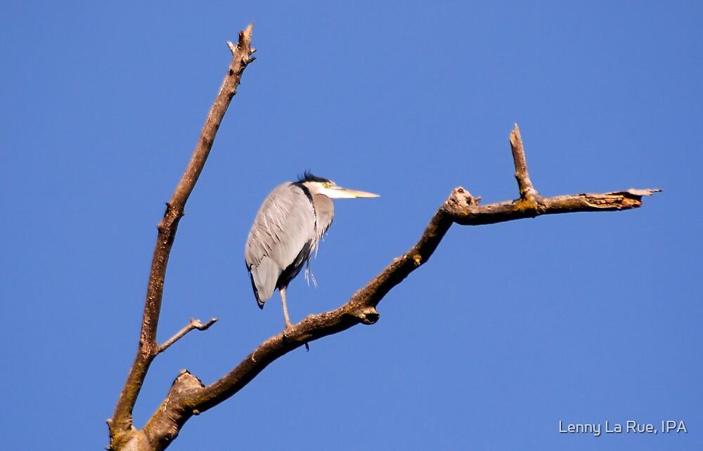 Great Blue Heron in dead treetop 2 by Lenny La Rue, IPA