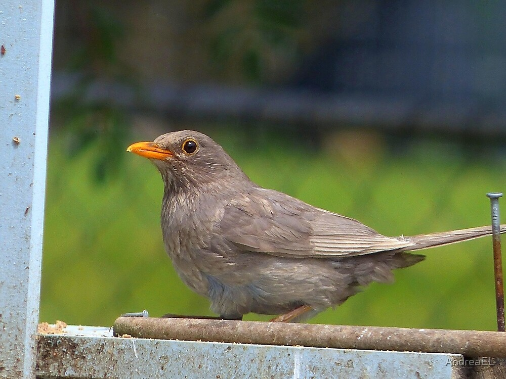 I Went For The Silver Not Gold!- Blackbird - NZ by AndreaEL