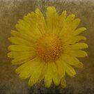 Yellow Daisy by Lynn Bolt