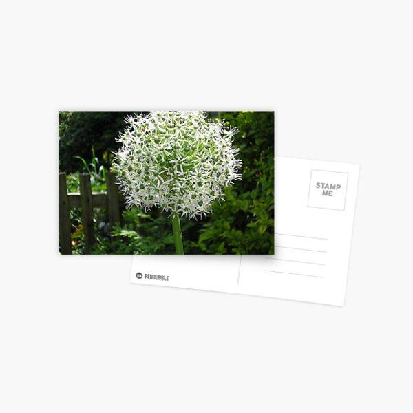 White Allium Postcard