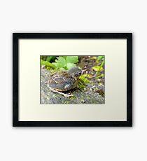 I'm A Beautiful Little Ugly.. Dunnock Hedge Sparrow - NZ Framed Print