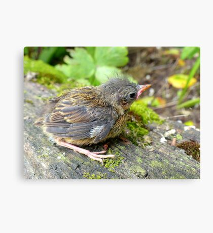 I'm A Beautiful Little Ugly.. Dunnock Hedge Sparrow - NZ Canvas Print