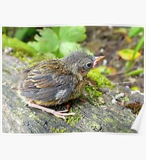 I'm A Beautiful Little Ugly.. Dunnock Hedge Sparrow - NZ Poster