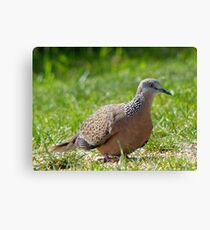 Come A Little Bit Closer... - Malay Spotted Dove - NZ Canvas Print
