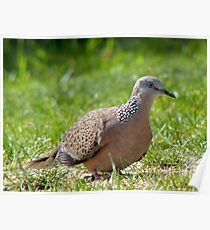 Come A Little Bit Closer... - Malay Spotted Dove - NZ Poster