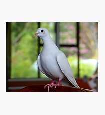 I Am...Love, Innocence, Tenderness & Purity... White Dove- NZ Photographic Print