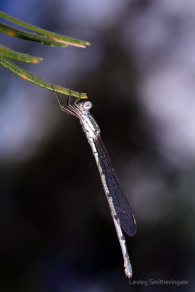 Common Bluetail Damselfly in Storm by Lesley Smitheringale