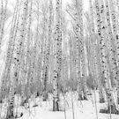 Winter Aspens by Eric Glaser