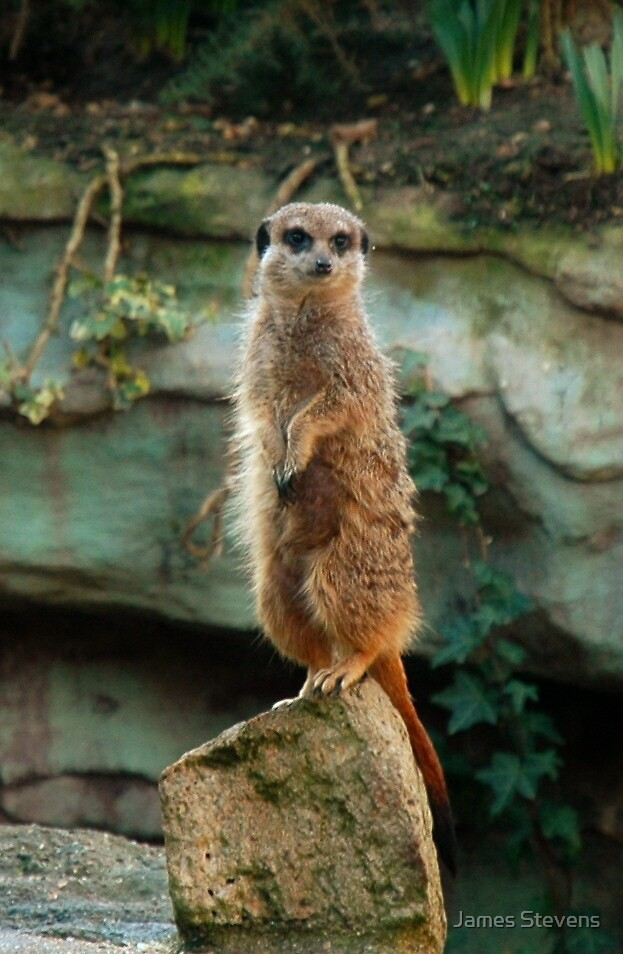 Nosey Meercat. by James Stevens