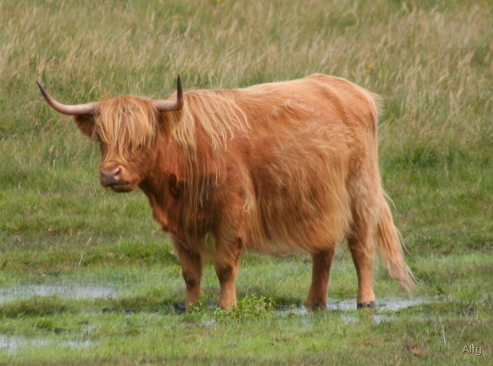 Highland Cattle by Alfy