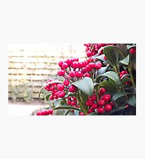 Holly berry Photographic Print