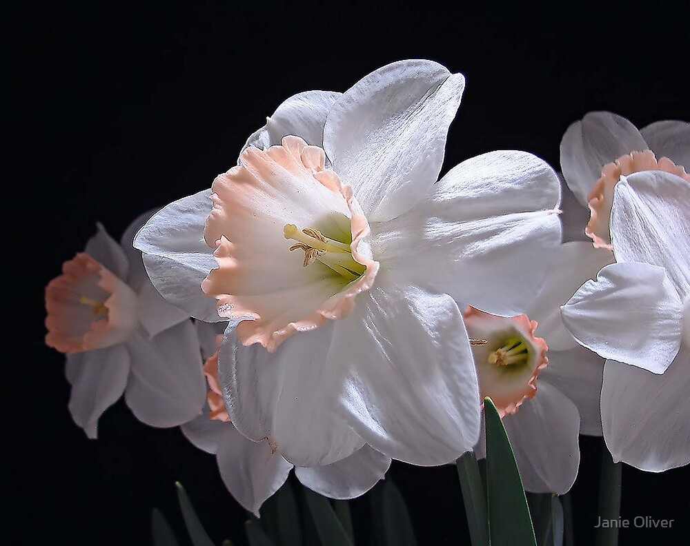 Narcissus by Janie Oliver