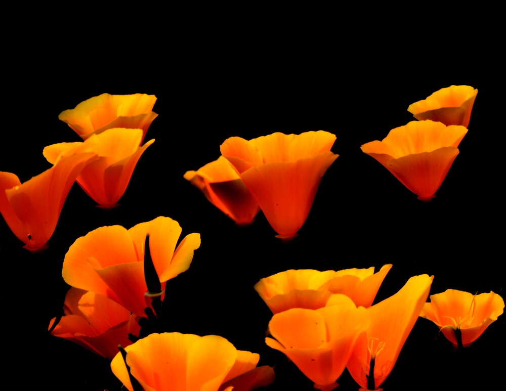 Floating Poppies by gfydad