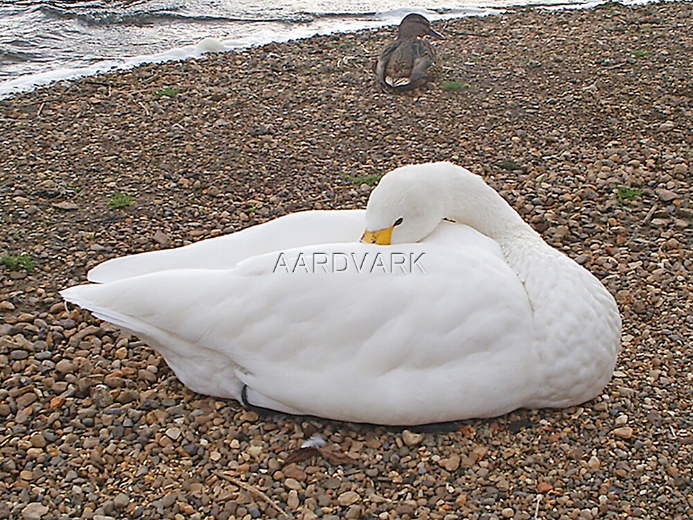 """""""Whooper"""" The Whooper Swan Of Hornsea Mere by AARDVARK"""