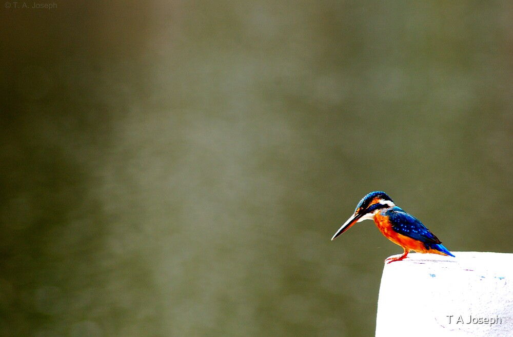 Kingfisher by T A Joseph