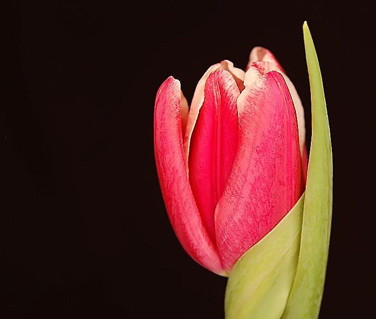 One Tulip by terrylazar