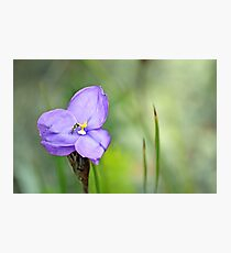 The Hoverfly and the Iris Photographic Print